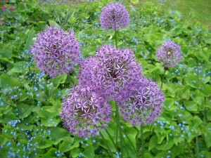Allium2